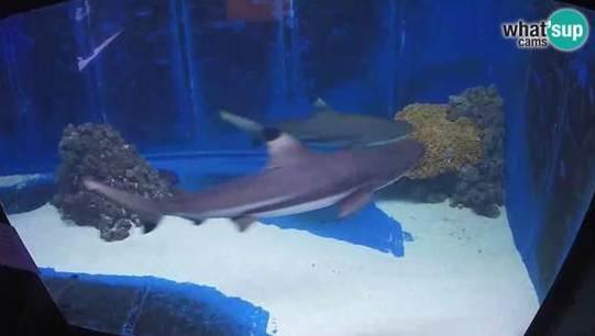 Uspjeh: Snimka morskih pasa iz akvarija u Puli je svjetski hit