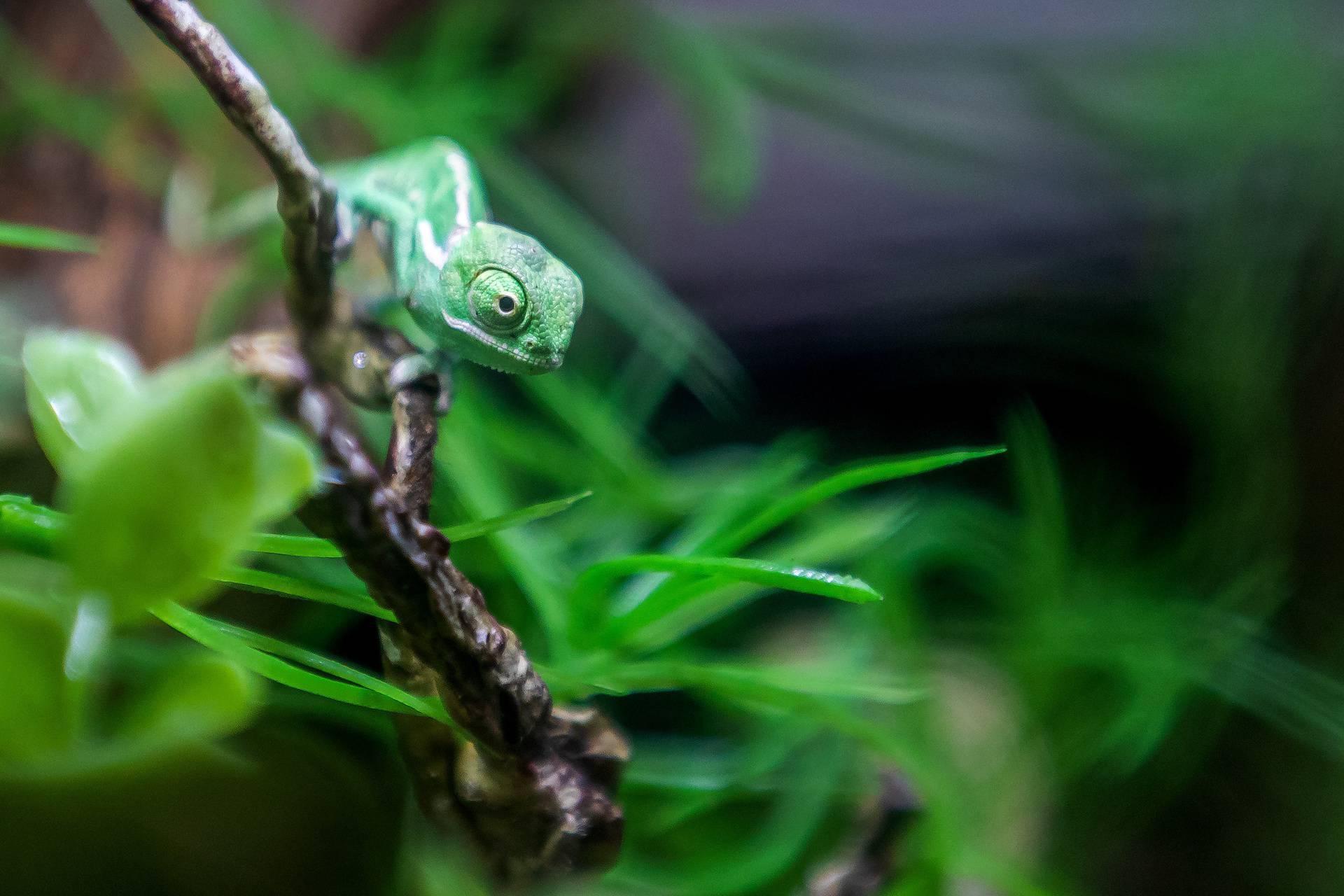 Pogledajte male kameleone koji su se izlegli u Aquariumu Pula