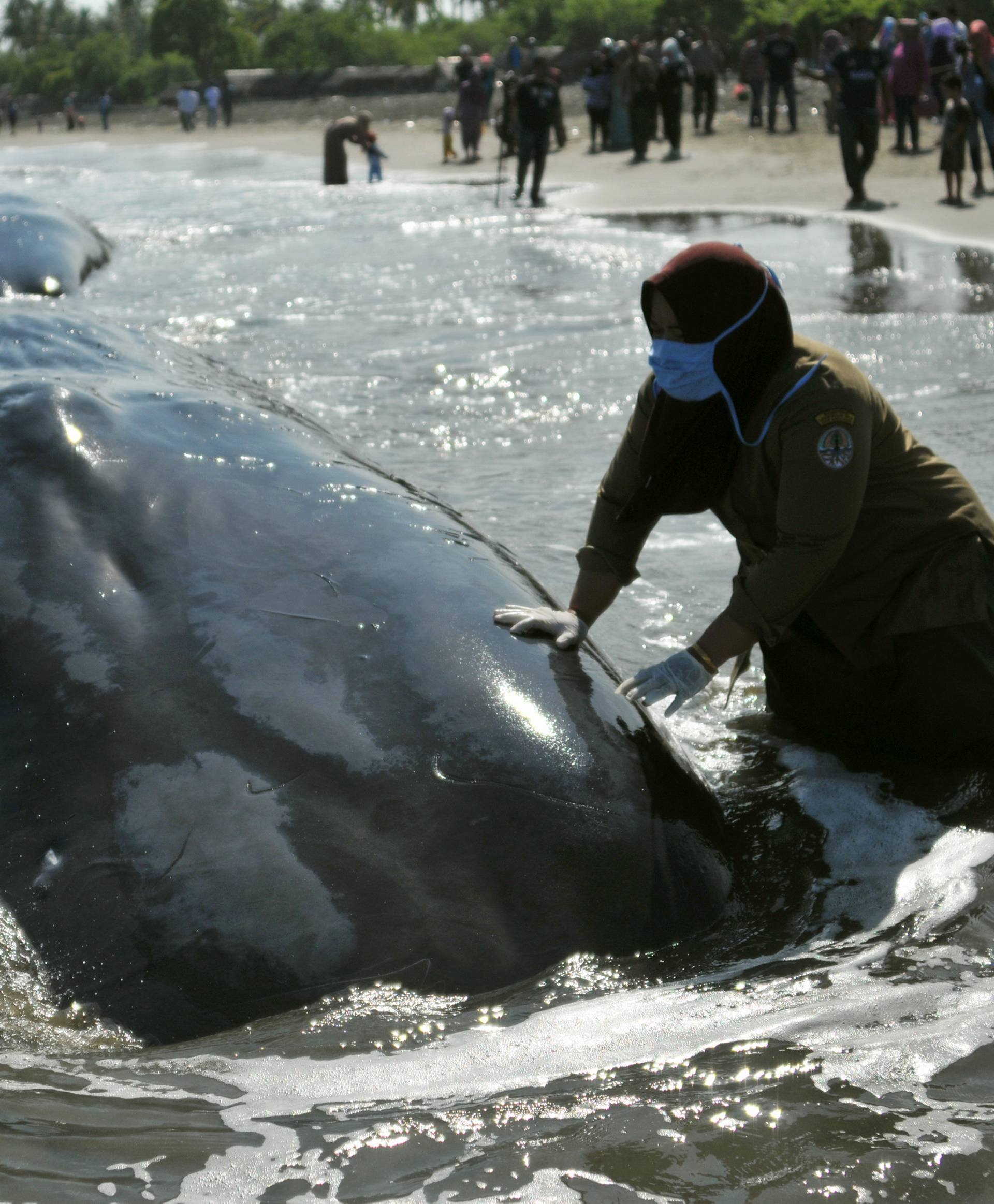 A veterinarian from the Nature Conservation Agency (BKSDA) examines a dead sperm whale, one of four to die after a small pod became stranded yesterday in Aceh Besar