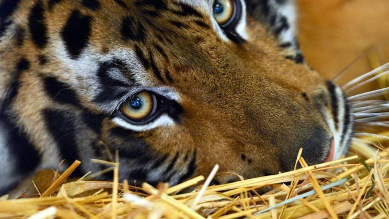 Namamili je parfemom! Ubili  tigricu koja je usmrtila 13 ljudi