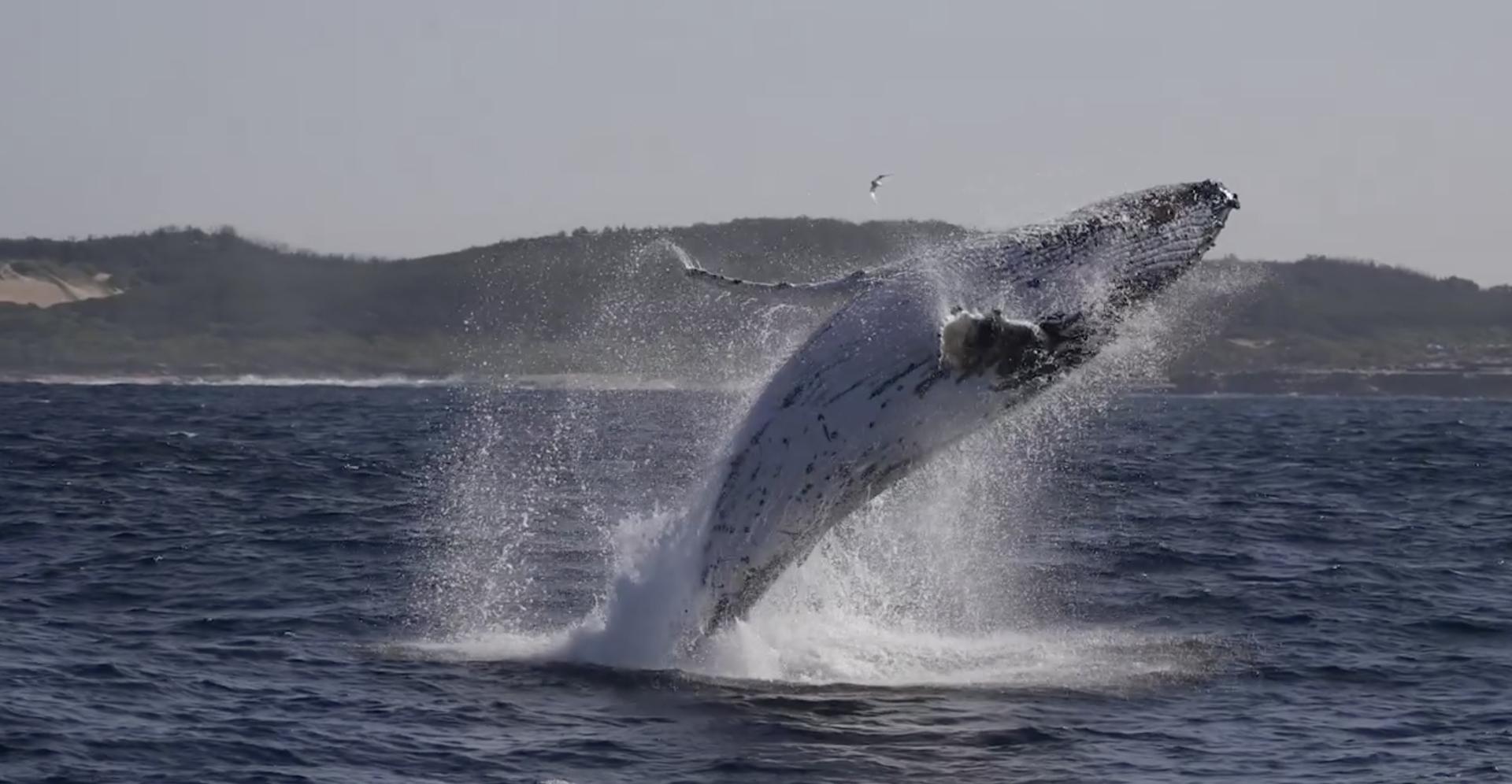 Prekrasni divovi: Prvi put ove godine snimili kitove u Australiji