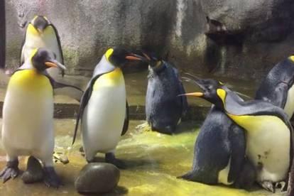 Sukob U Zoo U Par Pingvina Oteo Bebu Pingvina Roditeljima 24sata