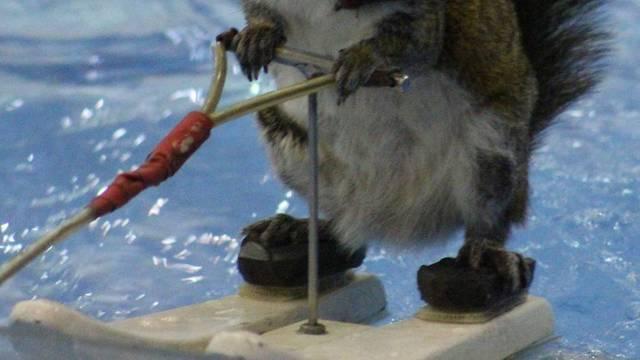 Pravi talent: Vjeverica Twiggy skija na vodi, ali i glumi u filmu