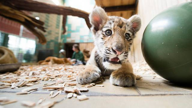 Baby tiger moves house