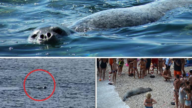 Prije par dana kod Dugog otoka snimljen 'morski čovik': Vratila nam se morska medvjedica?