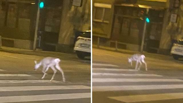 Srna usred Zagreba se vraćala iz izlaska? 'Nitko nije vjerovao što vidi, mirno je skrenula u ulicu...'