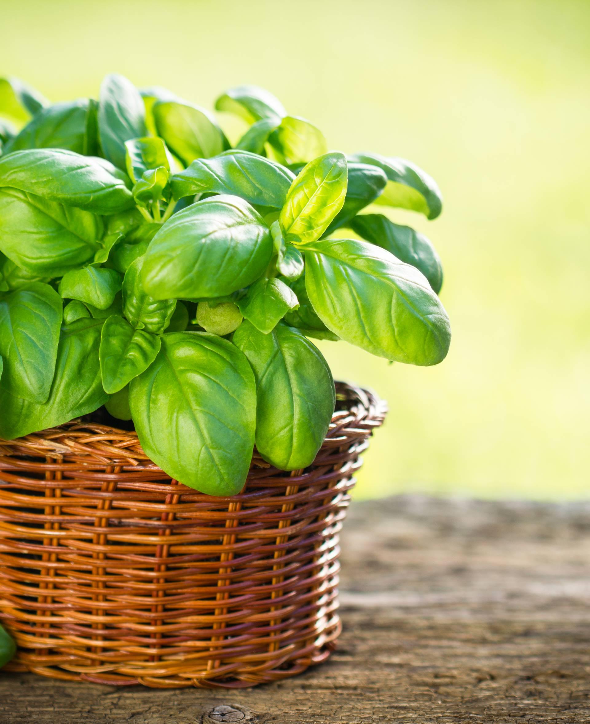 Bosiljak - mirisna biljka koju je šteta koristiti samo za začin