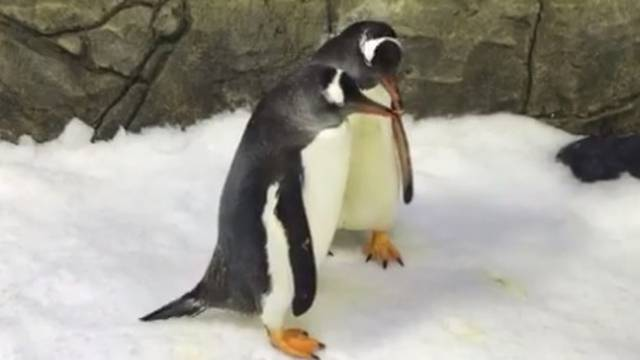 Gay pingvini podigli mladunca, sada će 'usvojiti' još jedno jaje