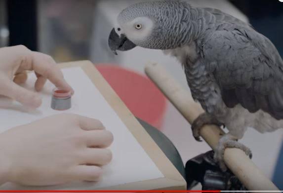 Lude papige: Prepoznaju boje, računaju, ali i drukaju dilerima