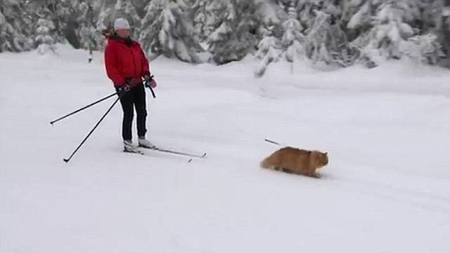 Misli da je haski: Mačak Jasper vuče svoju vlasnicu na skijama