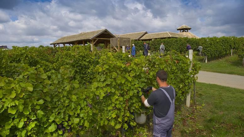 Započela je berba graševine i malvazije: Beremo grožđe na gotovo 1300 hektara vinograda