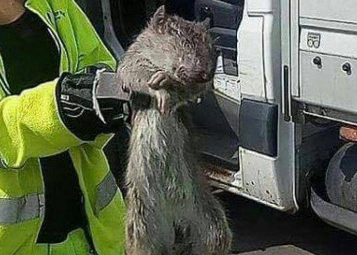 Švedska: Uhvaćen 'kralj štakora'
