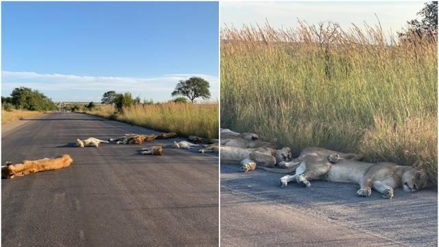 Umjesto turista, na cesti lavovi - uživaju u vlastitom carstvu