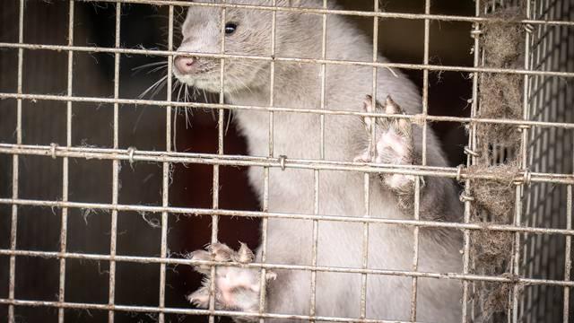 A caged mink looks on, amid the coronavirus disease (COVID-19) outbreak, at a mink farm in Hjoerring in North Jutland