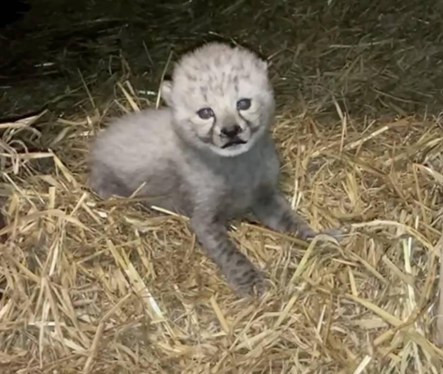 Najslađe pojačanje u zadnjih deset godina: U Engleskoj u ZOO-u rođena ženka geparda