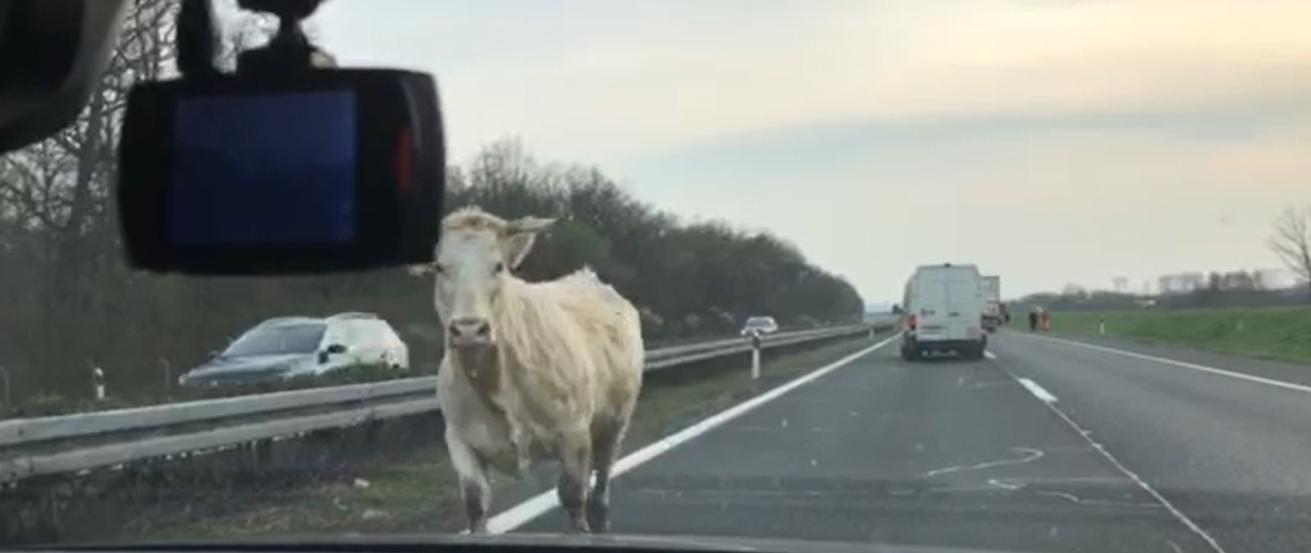 Krave blokirale autocestu: Nisu se htjele maknuti policajcima