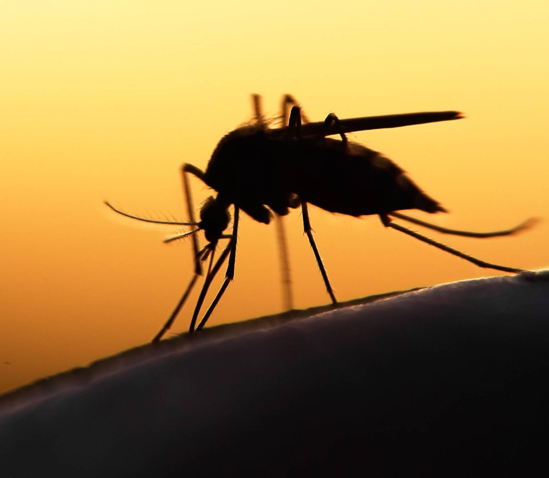 GMO gljive s DNK-om pauka uništavaju komarce malaričare