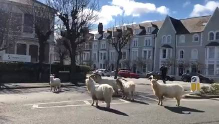 Dok su ljudi doma, divlje koze vladaju ulicama grada u Walesu
