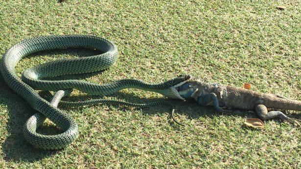 Zmija pojela iguanu
