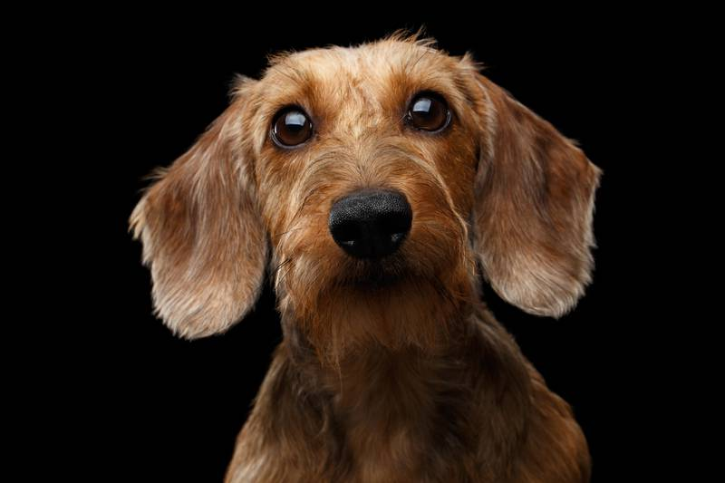 Studio shot of Dachshund Dog