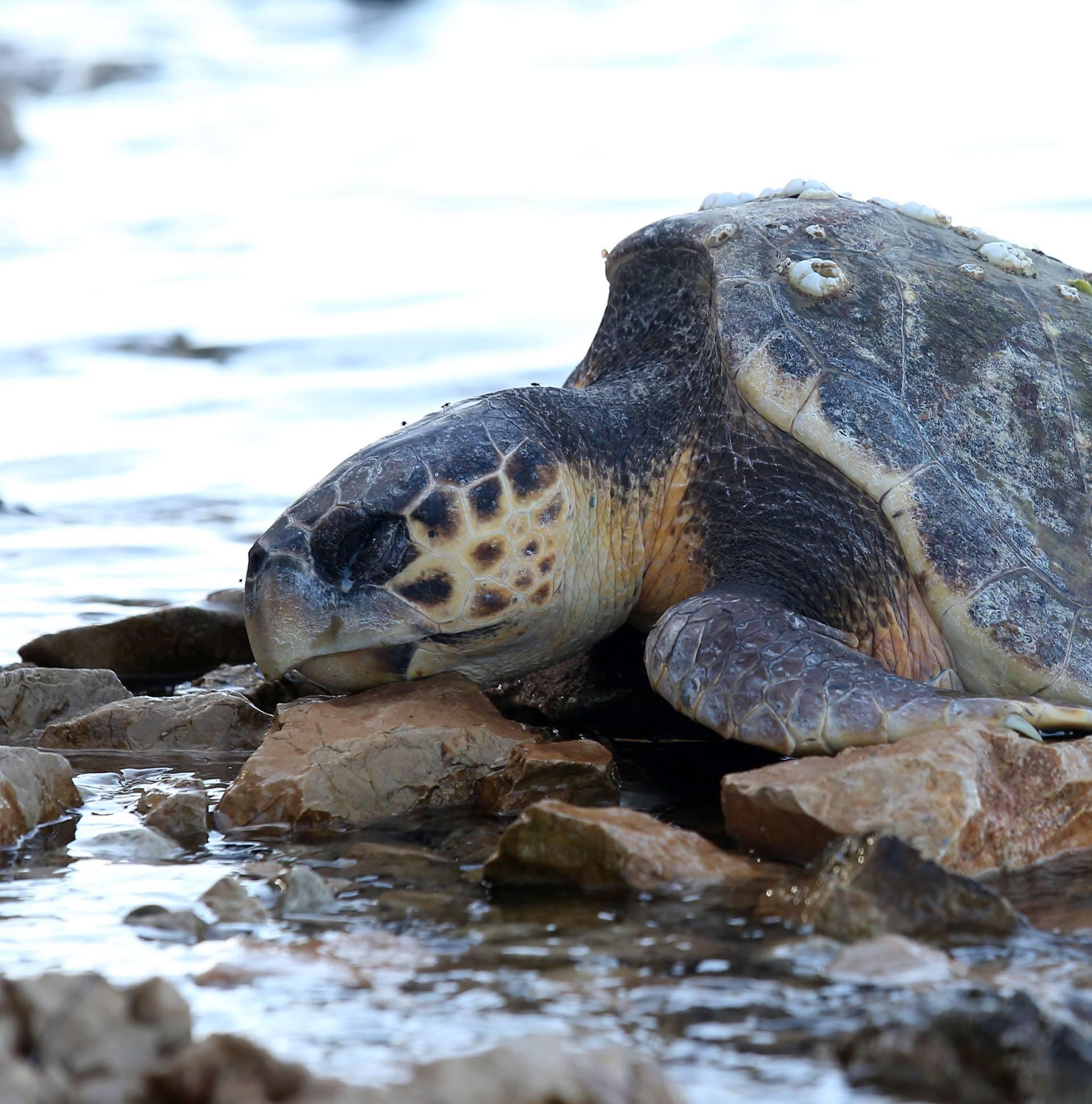 Žrtve hladnoće: Kod Zadra su pronašli još jednu uginulu želvu