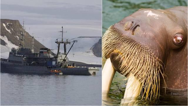 Osveta Majke Prirode: Morž na Arktiku mornarici potopio brod