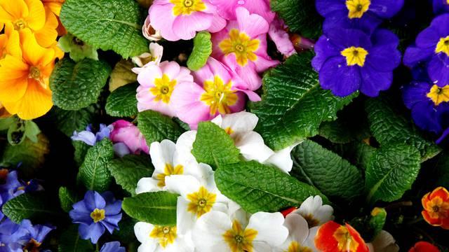 Proljetni 'veseljaci' jaglaci: Evo kako ćete ih lako održati u vrtu i u svojem domu da duže cvatu