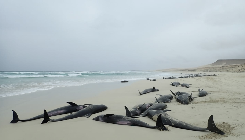 Strašan prizor! Na obali zatekli 200 nasukanih jadnih dupina...