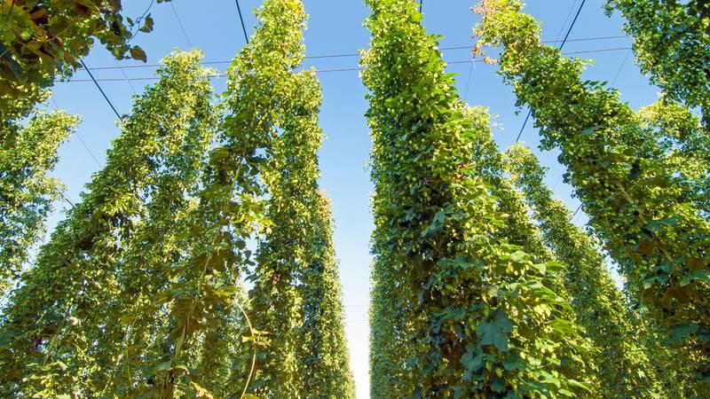 Kako je zbog samo jedne biljke svijet dobio omiljenu namirnicu