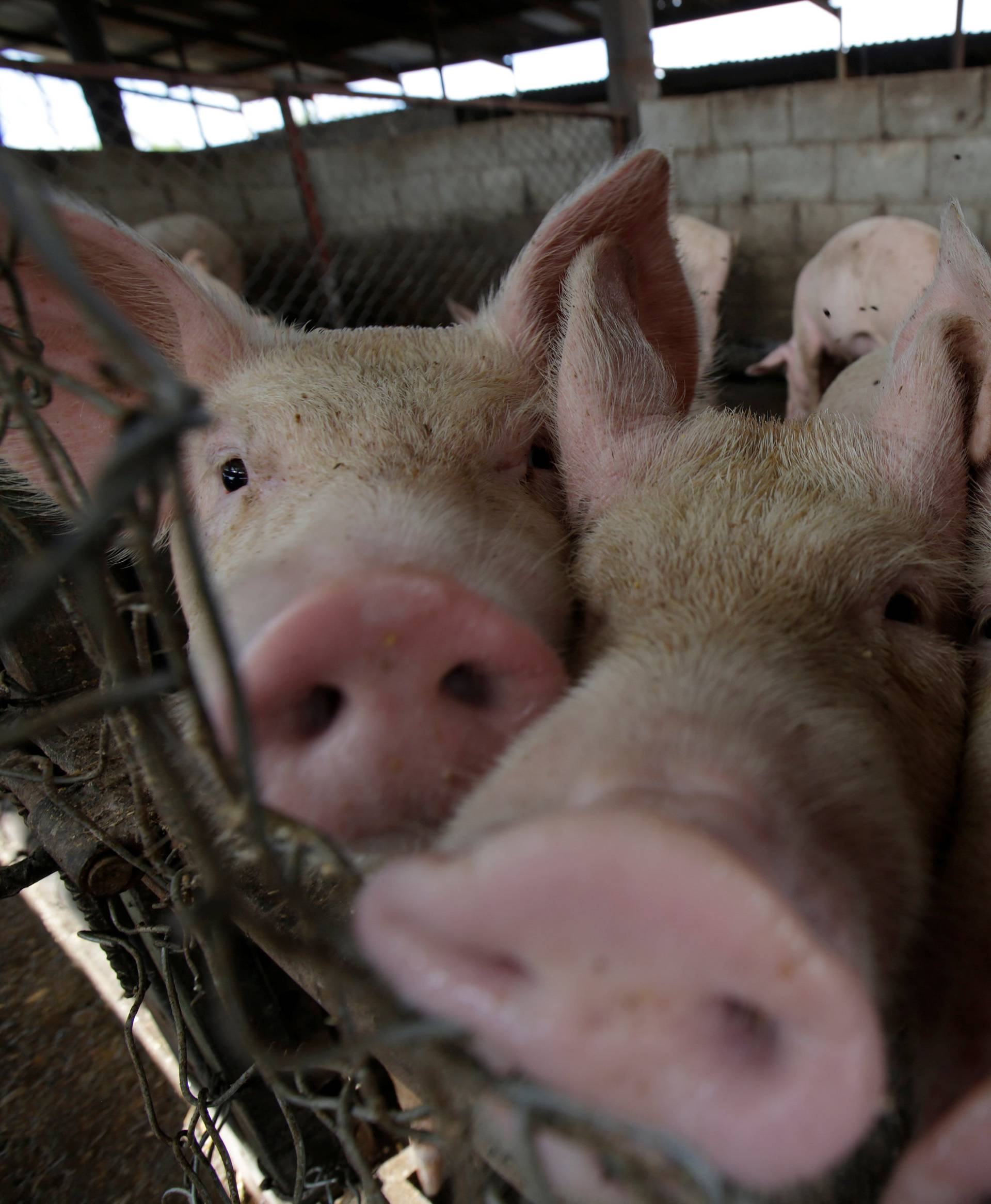 Pigs are pictured at a pig farm in Ciudad Juarez
