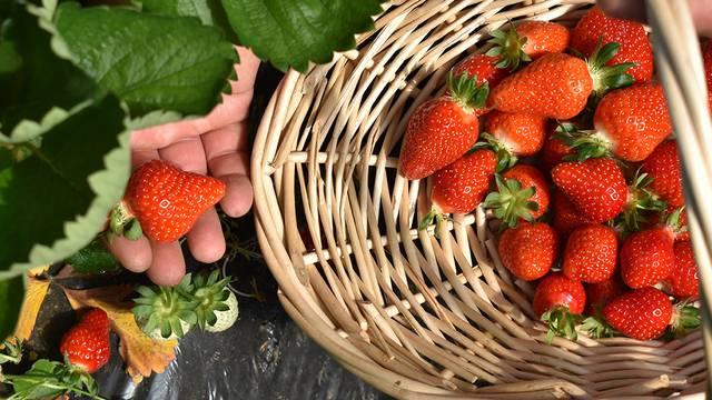 Kvalitetne jagode nose brojne benefite za naše zdravlje