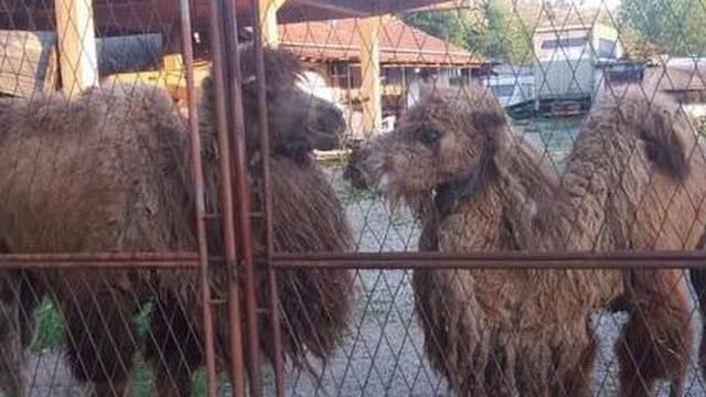 Žrtve užasa: Cirkus je otišao, a  životinje su ostavili neka uginu
