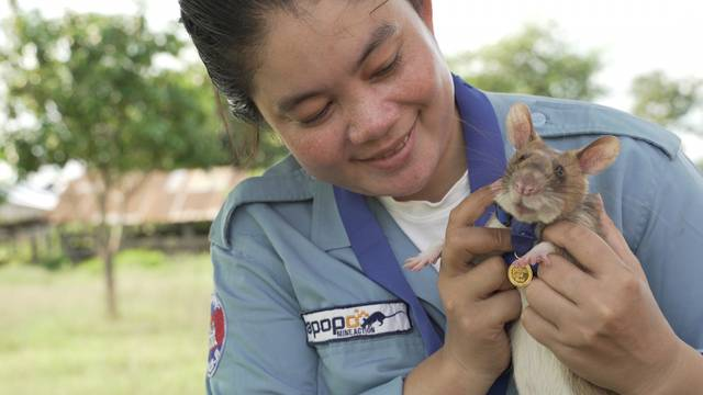 Magawa, a mine-sniffing rat, is pictured in Siem Reap