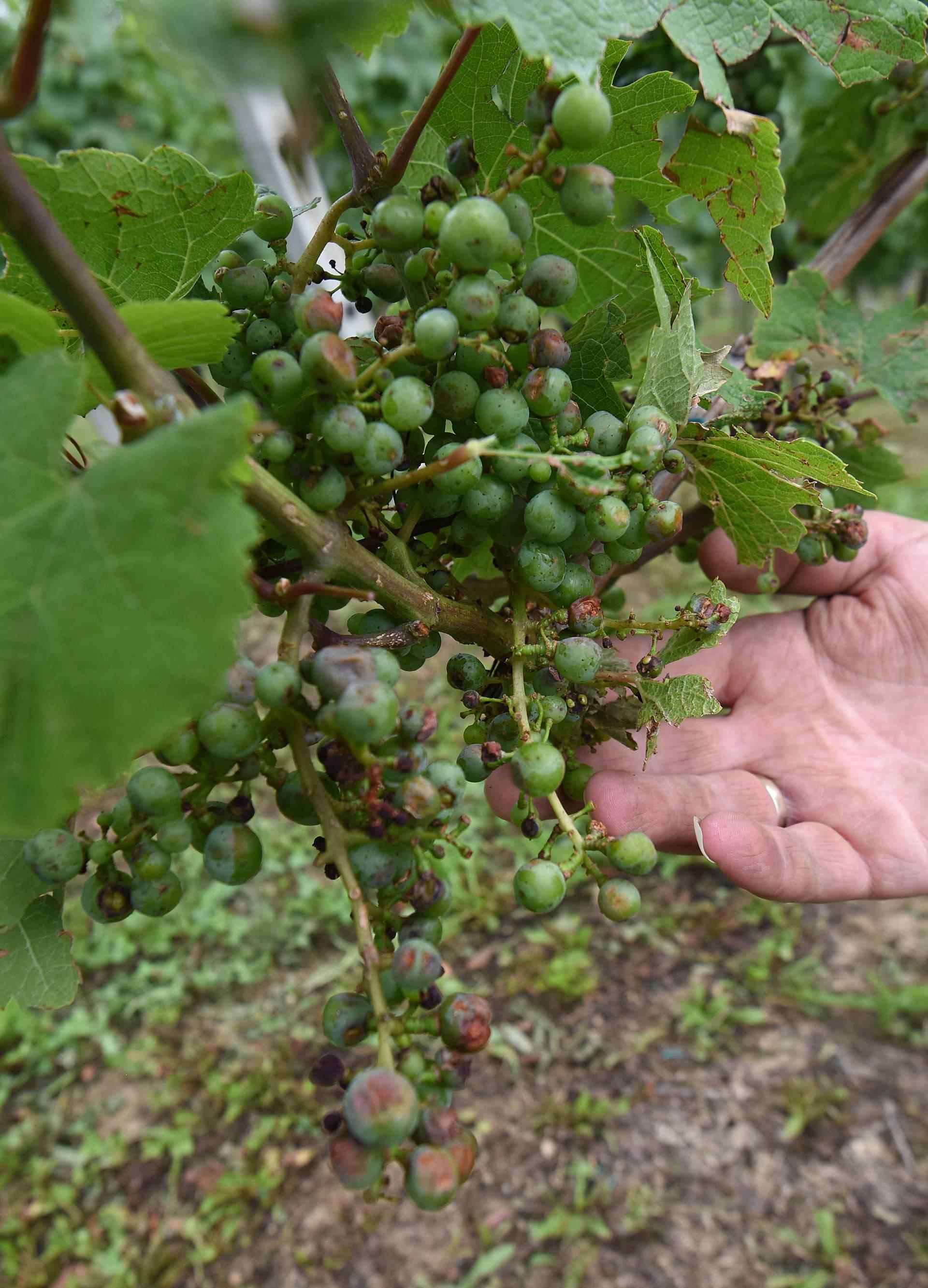 Tuča uništila vinograde: 'Sve je uništeno, posljedice su strašne'