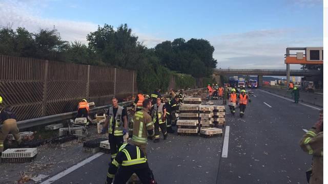 Rijedak prizor: Tisuće pilića su zaustavile promet na autocesti