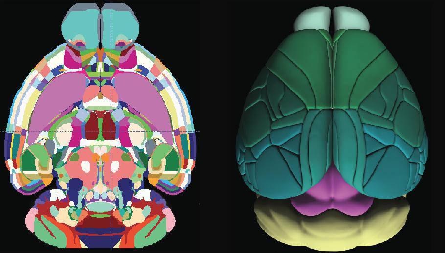 Ova 3D fotografija najsličniji je prikaz mišjeg mozga ikad