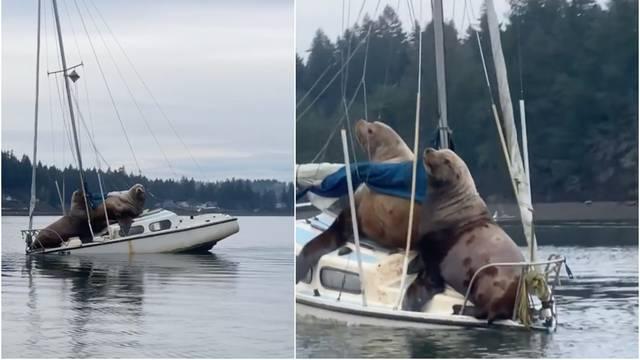 Golemi morski lavovi 'nasukali' se na brodicu pa ju potopili...