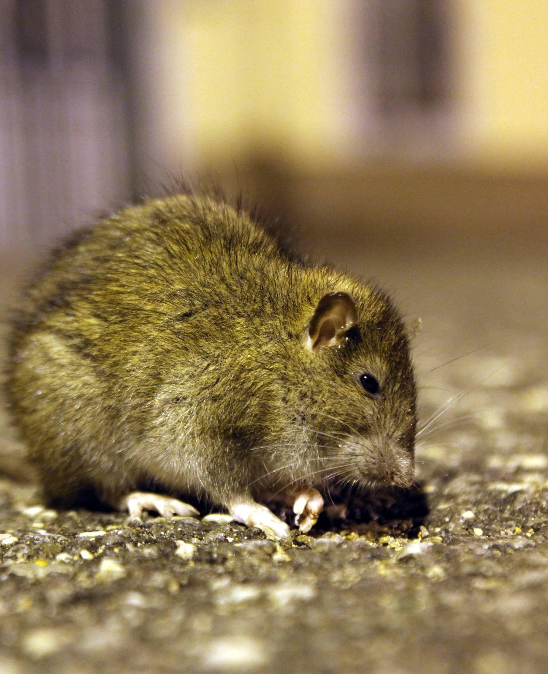 Prvi u svijetu: Kinez se zarazio virusom hepatitisa od štakora