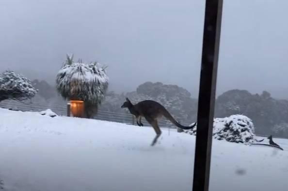 Kad u Australiji padne snijeg, klokani uživaju - pogledajte ih