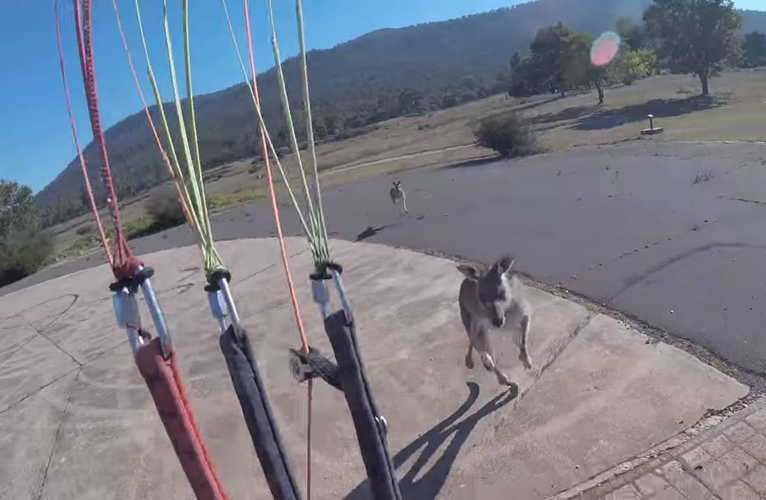 E nećeš! Paraglider pokušavao sletjeti pa ga napao ljuti klokan