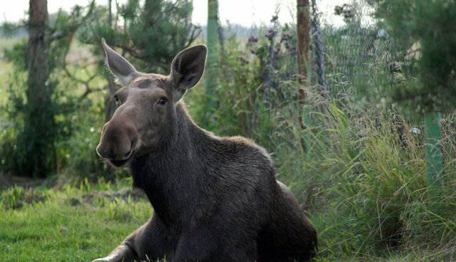 Spasio ženku losa: 'Vratila se u divljinu, ali me svaki dan obiđe'