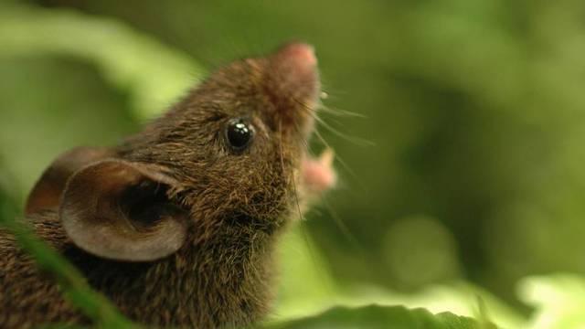 Južnoamerički miševi pjesmom zovu na parenje - poslušajte ih
