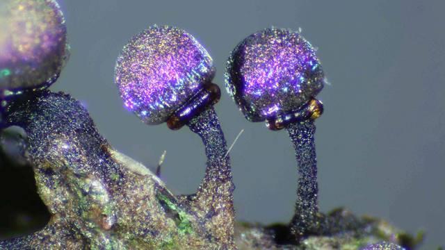 Ovakvu gljivu još niste vidjeli: Izgleda kao da nije sa Zemlje