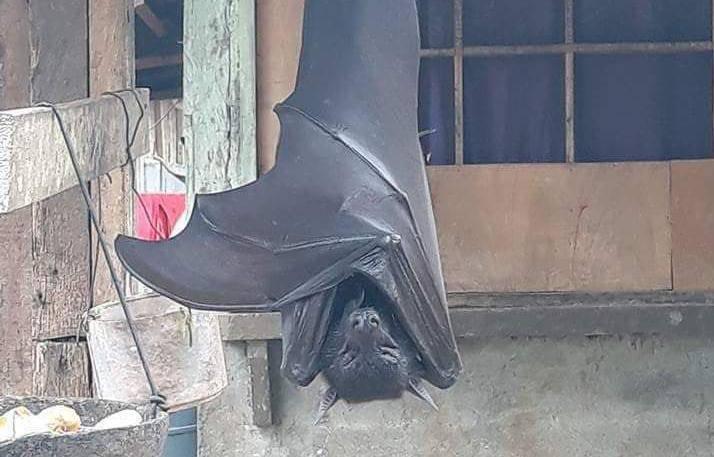 Batmane, odmaraš? Fotografije gigantskog šišmiša uplašile puk