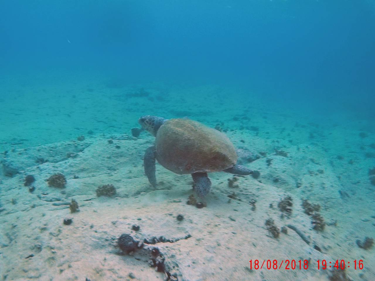 Lijepa i rijetka glavata želva došla se poigrati s djecom