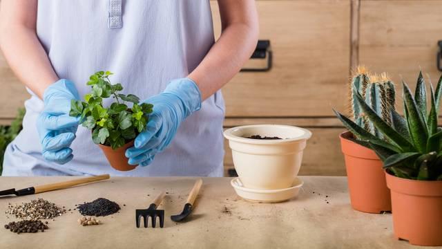 Vodič za vrtlare amatere: Kako je najbolje presaditi lončanicu