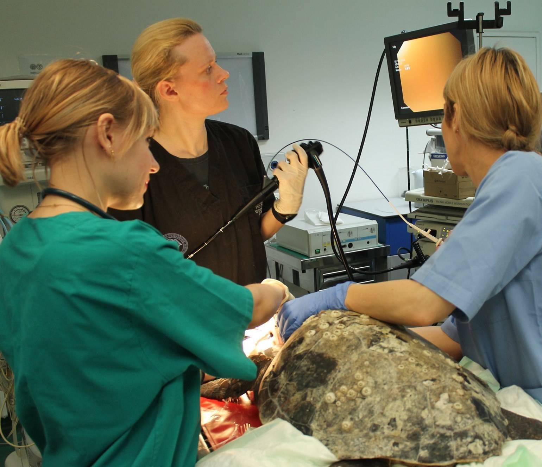 Operirali kornjaču: Progutala udicu koja joj je probila jednjak