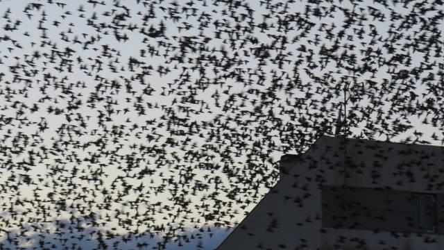 Epidemija ptičje gripe: Uginulo je 11.190 ptica u Rumunjskoj