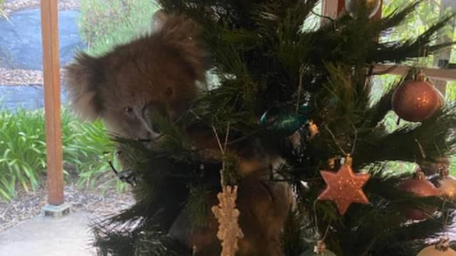Znatiželjna koala ušla u kuću i smjestila se na božićno drvo