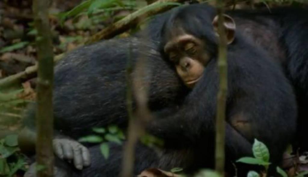 Nevjerojatna ljubav: Alfa mužjak glumi mamu maloj čimpanzi Oscaru